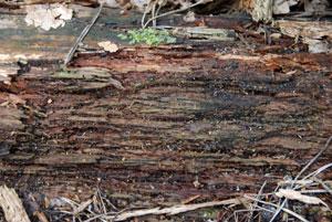 rotting-wood1