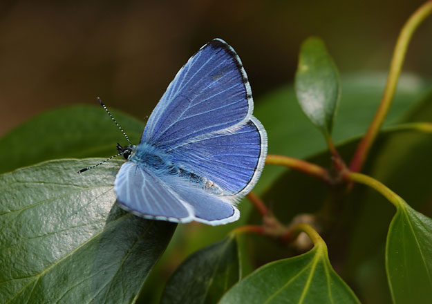 holly-blue-upperwing1_jim-asher-web