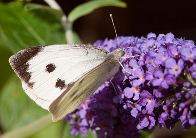 large-white-upperwing1_peter-eeles_web